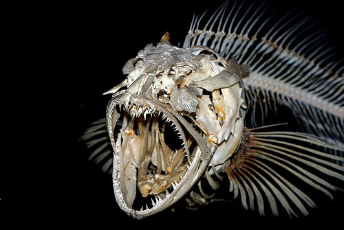 A Fishy Approach to Risk | Shift Happens! Oarfish Skull